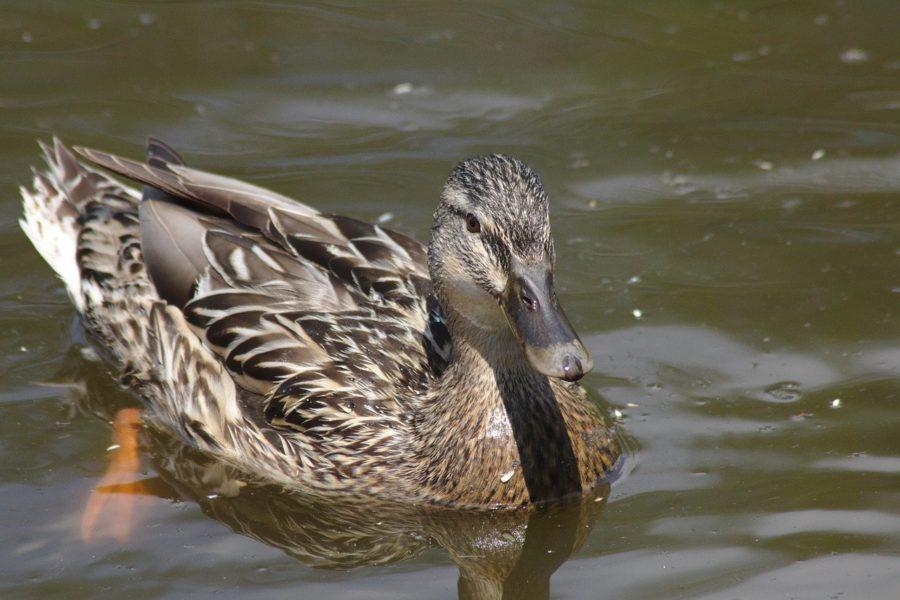 duck-1447707_1280