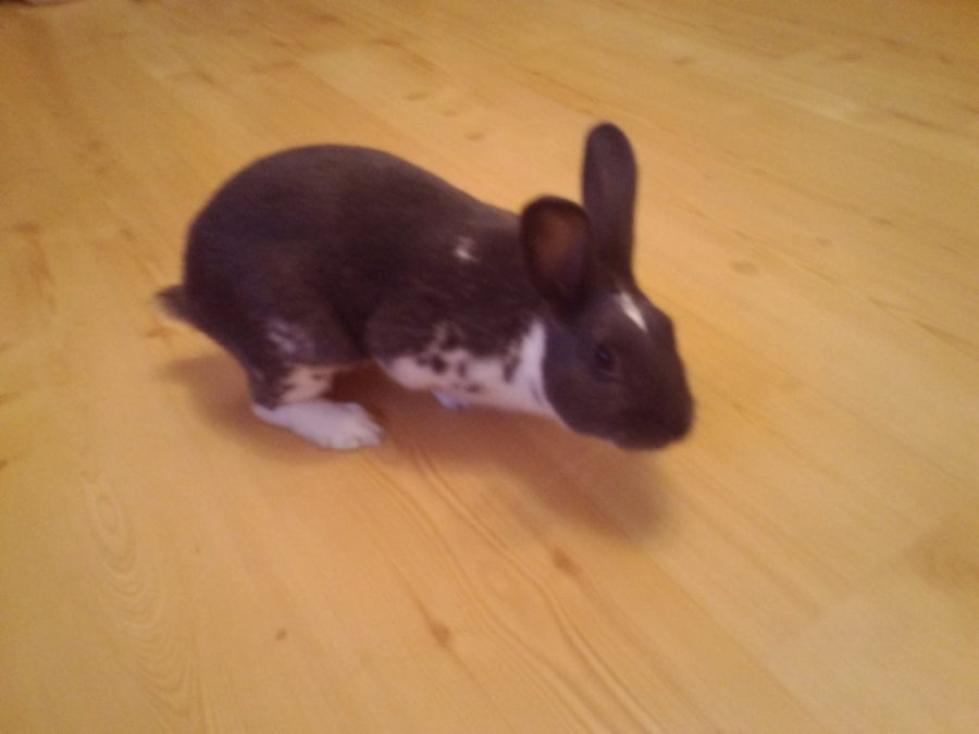 Dash the rabbit in the way and underfoot